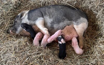 Pig Daddy Patrick Strikes Again…