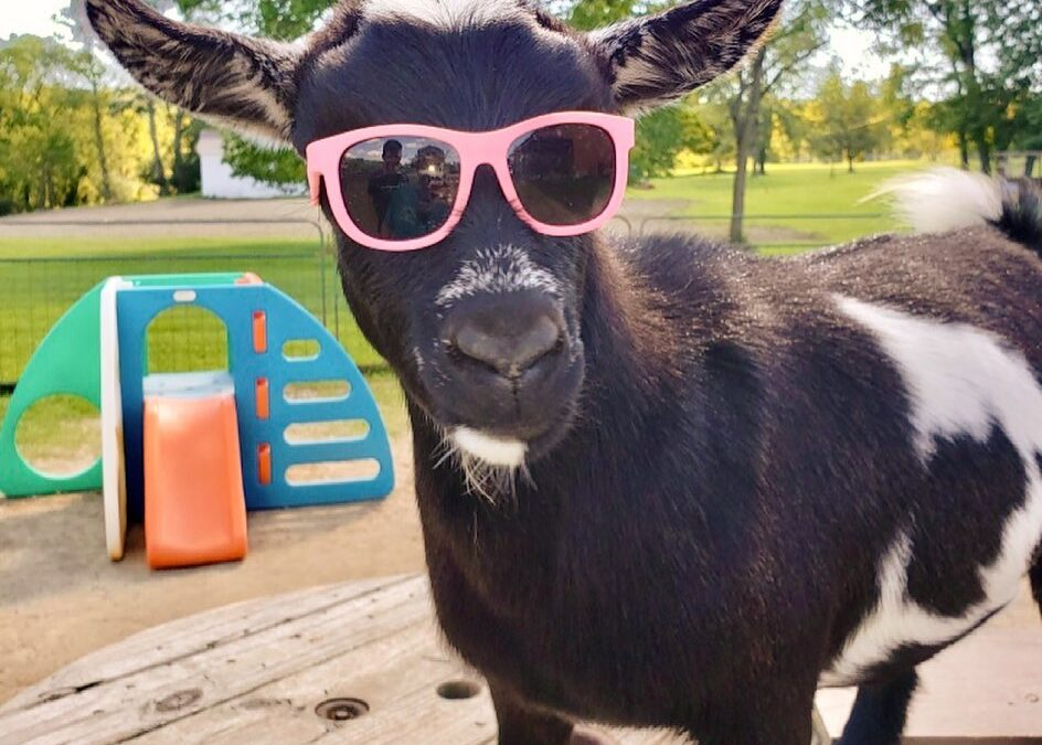 Why are goats so special and fun?